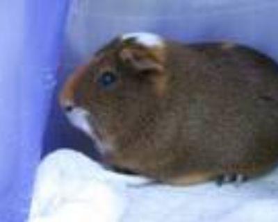 Adopt PEPSI a Guinea Pig