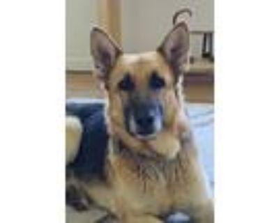 Adopt Cognac a Tan/Yellow/Fawn - with Black German Shepherd Dog / Mixed dog in
