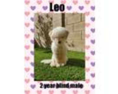 Adopt LEON - 2 YEAR POODLE MALE a White Poodle (Miniature) / Mixed dog in Mesa