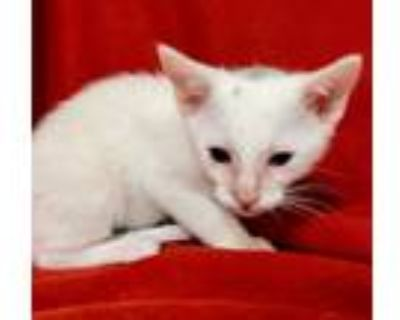 Adopt Chucky a White (Mostly) Domestic Shorthair / Mixed cat in Los Lunas