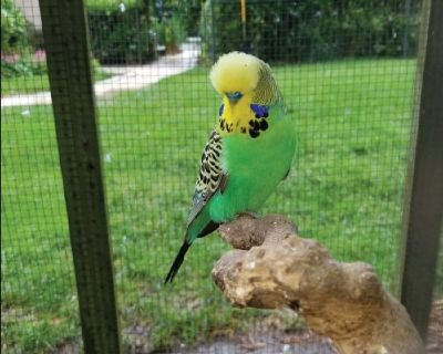 Parakeets and Finches