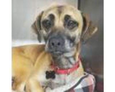 Adopt Bluebell a Tan/Yellow/Fawn Pug / Dachshund / Mixed dog in Mission