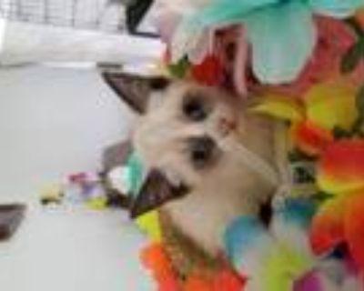 Adopt Lazzy/Lola (Lazzy sounds like Jazzy) a Ragdoll, Siamese