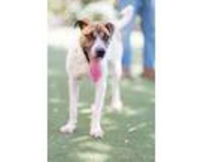 Adopt Bowser a Anatolian Shepherd / Mixed dog in Albuquerque, NM (32035532)