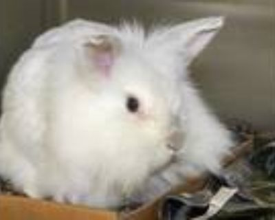 Adopt MARGO a White Angora, Giant / Mixed rabbit in Maryland Heights