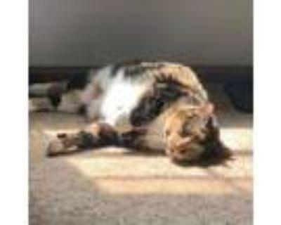 Adopt Jigglypuff a Domestic Short Hair