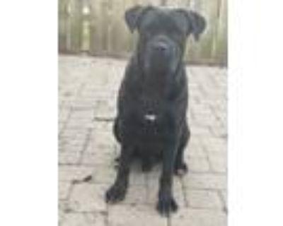 Adopt Ghost a Black Cane Corso / Mixed dog in Henrico, VA (31514005)