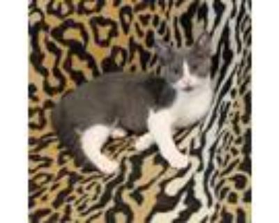 Adopt Laurie of the Surfer Kittens a Domestic Short Hair, Tuxedo