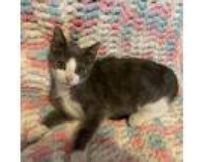 Adopt July a White (Mostly) Domestic Shorthair / Mixed cat in Waldorf