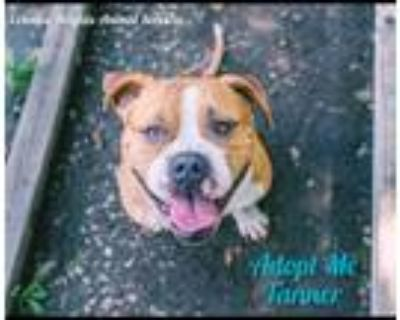 Adopt **Tanner** a Tan/Yellow/Fawn - with White Boxer / American Staffordshire
