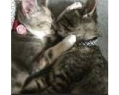 Adopt Poppy and Nugget a Calico or Dilute Calico Calico / Mixed (short coat) cat