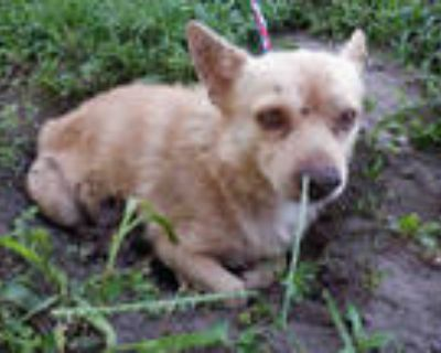 Adopt TOBY a Tan/Yellow/Fawn Norfolk Terrier / Mixed dog in Doral, FL (32110518)