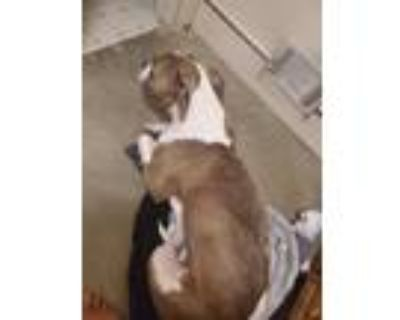 Adopt Cannon a Brindle - with White American Pit Bull Terrier / Boxer / Mixed
