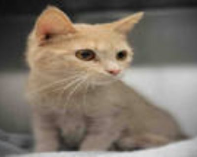 Adopt MUFFINS a Cream or Ivory Domestic Shorthair / Mixed (short coat) cat in