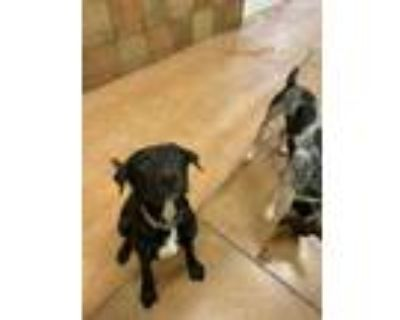 Adopt Puddin *PUPPY* a Black Labrador Retriever / Mixed dog in Fort Worth