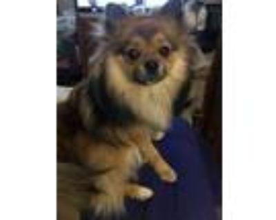 Adopt Hamilton Bushytail a Pomeranian