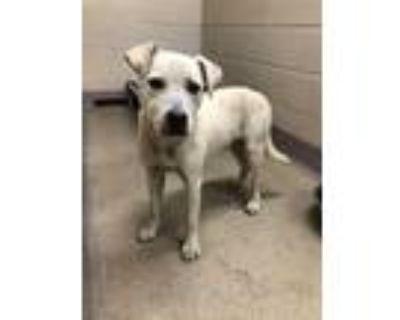 Adopt 48011320 a White Labrador Retriever / Mixed dog in Shelby, NC (31628619)
