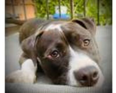 Adopt Adorable Annie! a Black - with White Staffordshire Bull Terrier / Pit Bull