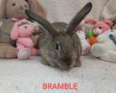 Adopt Bramble a Agouti American / Mixed (short coat) rabbit in West Pelzer