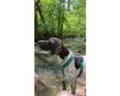Adopt Hudson a White - with Brown or Chocolate German Shorthaired Pointer /