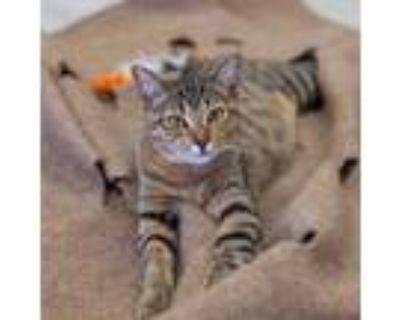 Adopt Calypso a Domestic Short Hair, Ocicat