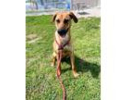 Adopt QUEEN OF THE GREEN a Black and Tan Coonhound, German Shepherd Dog