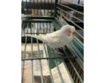 Adopt Remir a Parakeet (Other)
