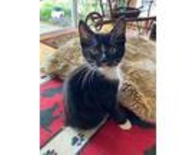 Pietro, Domestic Shorthair For Adoption In Hampton, Virginia