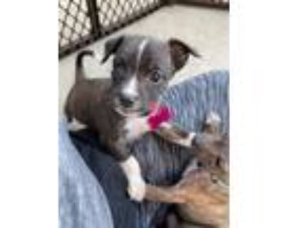 Adopt Maxine a Wirehaired Terrier, American Staffordshire Terrier