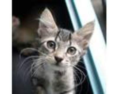 Adopt Sasha Grey a Domestic Medium Hair, Domestic Short Hair