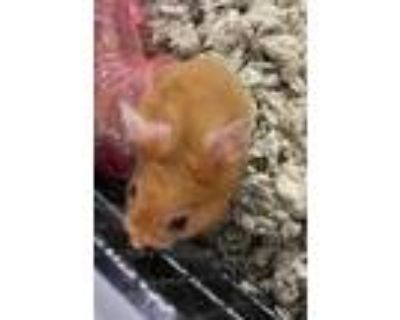 Adopt Madam Nibblets a Tan or Beige Hamster / Mixed small animal in Washington