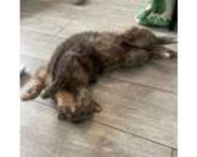 Adopt Bottles a Tortoiseshell Domestic Shorthair / Mixed cat in Englewood