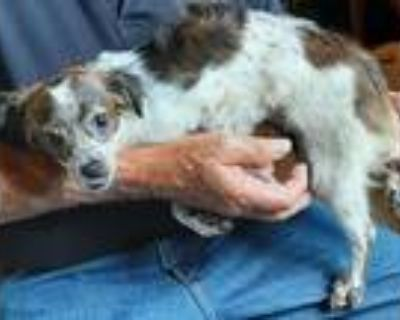 Adopt Flossy a Tricolor (Tan/Brown & Black & White) Pomeranian / Mixed dog in