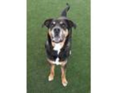 Adopt Willow a Hound, Mixed Breed