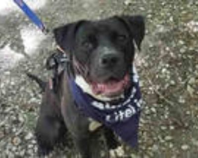 Adopt SOLDIER a Black - with White Labrador Retriever / American Pit Bull