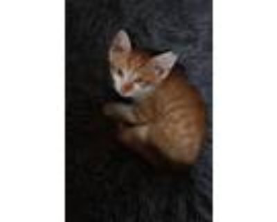 Adopt Peanut a Orange or Red (Mostly) Domestic Mediumhair / Mixed cat in