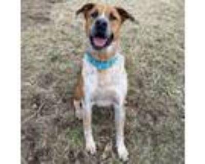 Adopt Beau a Australian Cattle Dog / Mixed Breed (Medium) / Mixed dog in