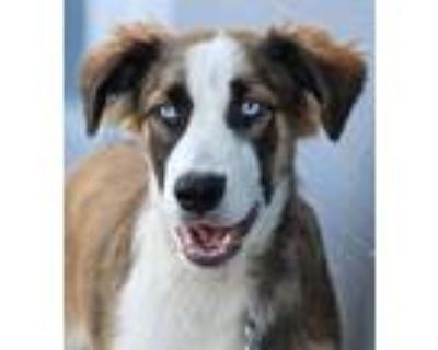 Adopt *Dodger von Dorth a German Shepherd Dog, Australian Shepherd