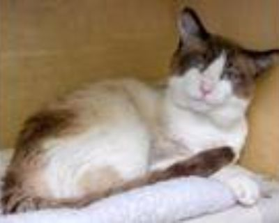 Adopt Duke a Brown or Chocolate (Mostly) Siamese / Mixed (short coat) cat in Los