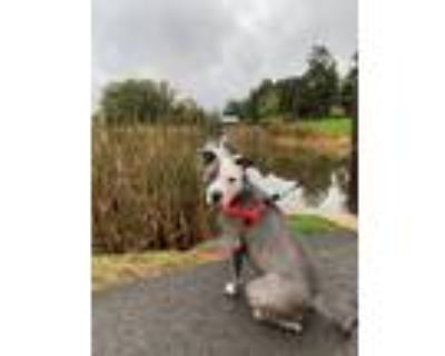 Adopt Gordon a Gray/Silver/Salt & Pepper - with White Pit Bull Terrier / Mixed