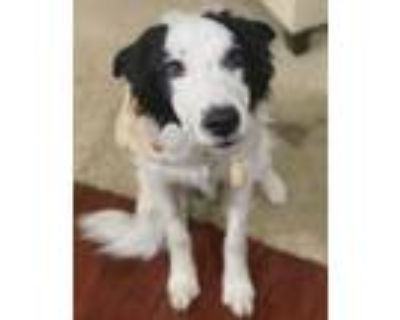 Adopt Jax a White - with Black Border Collie / Mixed dog in Columbia