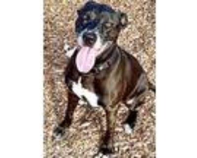 Adopt WINNIE a Black - with White Labrador Retriever / Mixed dog in Albuquerque