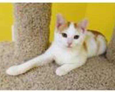 Adopt Davis a White Domestic Shorthair / Domestic Shorthair / Mixed cat in