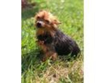 Adopt Fifi a Yorkshire Terrier