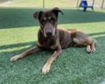 Adopt ARROW a Brown/Chocolate - with Tan Labrador Retriever / Mixed dog in