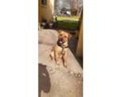 Adopt Tank a Tan/Yellow/Fawn Rottweiler / American Pit Bull Terrier / Mixed dog