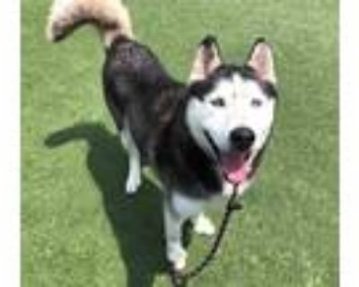 Adopt KING a Black - with White Mixed Breed (Medium) / Mixed dog in Los Angeles
