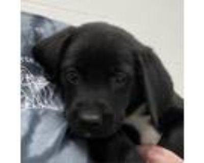 Adopt Hawkeye a Black Beagle / Husky / Mixed dog in Zanesville, OH (31644337)