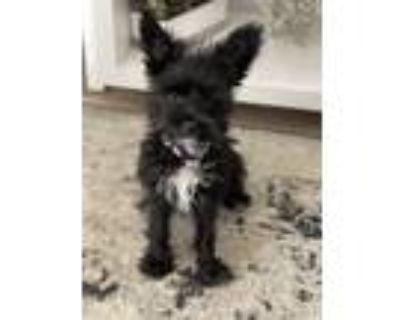 Adopt Ava a Terrier