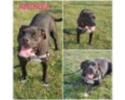 Adopt Andrea a Staffordshire Bull Terrier